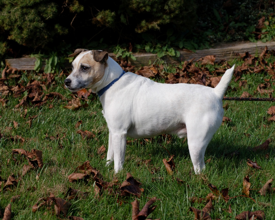 Max-Jack Russell